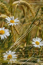 Chamomile flowers in wheat field