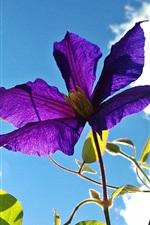 Clematis, flor roxa, folhas, céu azul