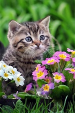 Preview iPhone wallpaper Cute kitten, primula pink and white flowers