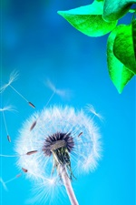 Dandelion, green leaves, blue background