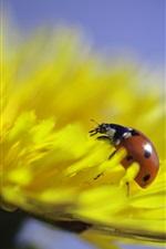 Dandelion yellow flower, ladybug, insect