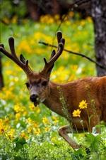 Deer in forest, summer, grass, flowers, Yellowstone National Park, USA
