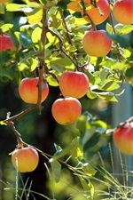 Preview iPhone wallpaper Fruit garden, apple tree, fresh apples