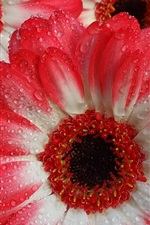 Preview iPhone wallpaper Gerberas macro photography, water droplets, white red petals