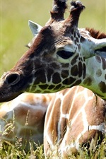 Preview iPhone wallpaper Giraffe sit in grass