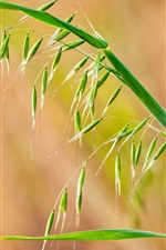 Preview iPhone wallpaper Grass close-up, seed, spikelets, leaves