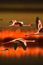 Greater Flamingos flying at sunset