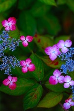 Hydrangea, inflorescence, pink and blue flowers