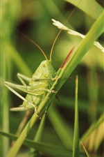 Preview iPhone wallpaper Insect, grasshopper, grass