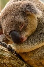 Preview iPhone wallpaper Koala sleep in tree
