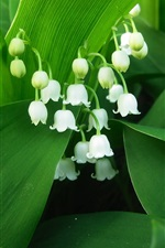 Preview iPhone wallpaper Lily of the valley, white petals, green leaves