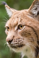 Lynx face close-up, yellow eyes, whiskers