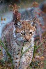Preview iPhone wallpaper Lynx walk in grass, wild cat, predator