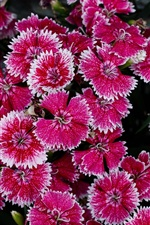 미리보기 iPhone 배경 화면 많은 핑크 작은 꽃, 흰색면