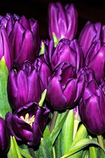Preview iPhone wallpaper Many purple tulips, flowers close-up, black background