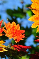 Preview iPhone wallpaper Maple leaves, red and yellow, autumn