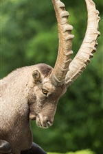 Preview iPhone wallpaper Mountain goat, ibex, claw