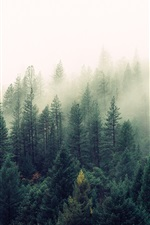 Preview iPhone wallpaper Nature, forest, trees, pines, fog