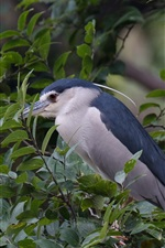 Preview iPhone wallpaper Night heron