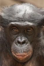 Orangutan, face, animal close-up