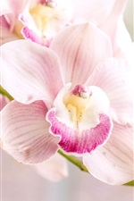 Preview iPhone wallpaper Orchid, pink phalaenopsis