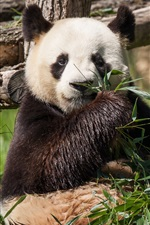 Preview iPhone wallpaper Panda eat bamboo