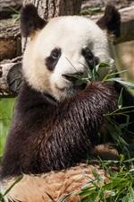 미리보기 iPhone 배경 화면 팬더는 대나무를 먹고