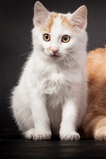 Preview iPhone wallpaper Persian cat and white kitten