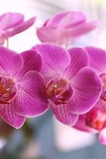 Preview iPhone wallpaper Phalaenopsis, pink petals, blossom