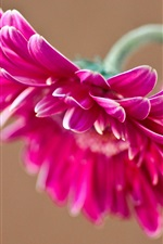 Preview iPhone wallpaper Pink gerbera flower, petals
