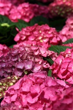 Preview iPhone wallpaper Pink hydrangea flowers