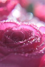 Pink rose macro photography, water droplets, glare