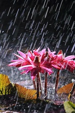 Vorschau des iPhone Hintergrundbilder Rosa Seerosen bei starkem Regen