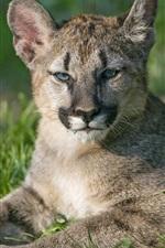Preview iPhone wallpaper Puma cubs, mountain lion, grass
