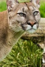 Preview iPhone wallpaper Puma, mountain lion, face, grass