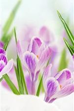 Preview iPhone wallpaper Purple crocuses, green leaves, snow