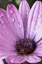Preview iPhone wallpaper Purple flowers after the rain, water droplets