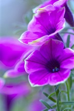 Preview iPhone wallpaper Purple petunia, flowers close-up