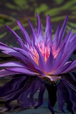 Preview iPhone wallpaper Purple water lily, flower in pond