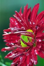 Preview iPhone wallpaper Red chrysanthemum, dew, green background
