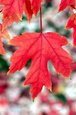 Preview iPhone wallpaper Red maple leaves, autumn, bokeh