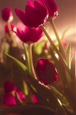 Preview iPhone wallpaper Red tulip flowers, backlit photography