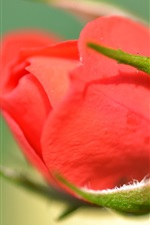 Preview iPhone wallpaper Rose bud, red flower close-up