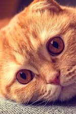Preview iPhone wallpaper Scottish fold cat, portrait, want to sleep