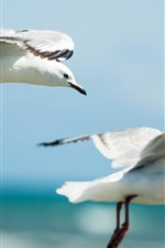 Preview iPhone wallpaper Seagulls flying in sky