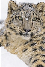 Preview iPhone wallpaper Snow leopard, thick snow winter