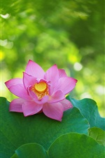 Spring, lotus, pink flower, green leaves