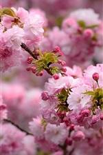 Spring, pink flowers blooms, tree, twigs