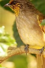 iPhone fondos de pantalla La raya throated bulbul, pájaro, árbol, hojas