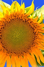 Preview iPhone wallpaper Sunflower macro photography, yellow petals, blue sky